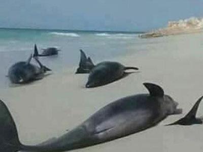 دراسة: تغير المناخ هو المسؤول عن نفوق الدلافين جنوب استراليا